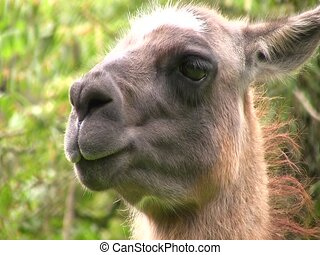 Llama, close up of head - In cloudforest in the Ecuadorian...