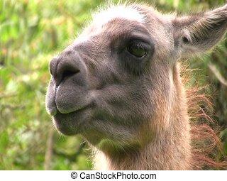 Llama, close up of head - In cloudforest in the Ecuadorian...