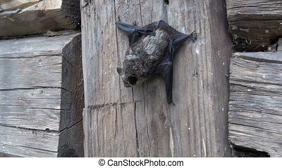 rare bat Eptesicus nilssonii - rare bat species Eptesicus...