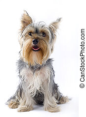 picture of a seated puppy yorkshire terrier