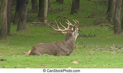 Red deer dominant stag sits bugling - Red deer (cervus...