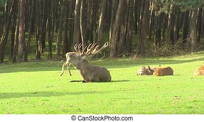 Red deer rut, dominant bull sits at forest edge and bugling...