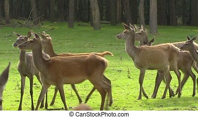 Red deer hinds in harem during rut - medium shot - Red deer...