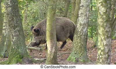 European wild boar (sus scrofa) runs in forest - tracking shot