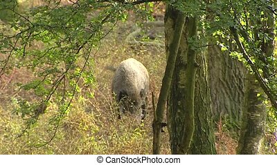 European wild boar (sus scrofa) foraging. Wild boar are...