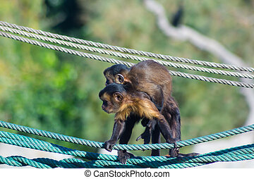 Capuchin monkey walking on a rope with a little to the back (Ceb