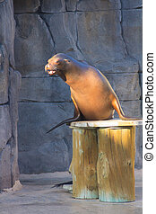 Sea Lion doing funny things Zalophus californianus