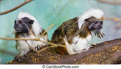 Geoffroy's marmoset  (Callithrix geoffroyi)