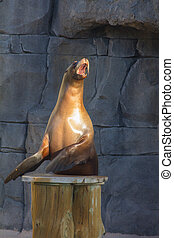 Sea Lion doing funny things (Zalophus californianus)