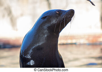 Sea Lion (Zalophus californianus)