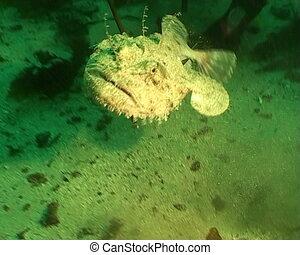 Anglerfish Lophius Piscatorius Norw - underwater diving...