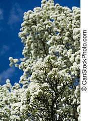 Vertical colour image of pear tree in bloom
