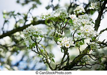 Horizontal colour image of pear tree in bloom