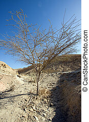 tree of desert - mountains, south of Israel, Mitzpe Ramon