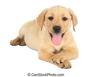 Adorable Puppy with Legs Crossed - Cute labrador puppy lying...