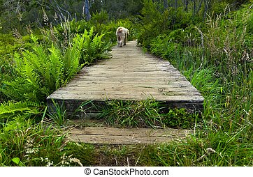 Dog crossing boardwalk on marshland - A dog crossing a...