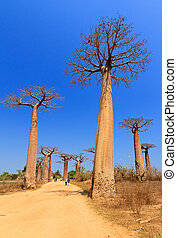 Tall trees - Beautiful Baobab trees at the avenue of the...