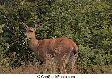 Sitka black-tailed Deer - Deer eating