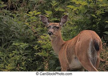 Sitka black-tailed Deer - Deer eating