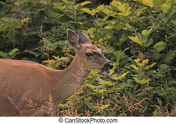 Sitka black-tailed Deer - Female Wild Deer