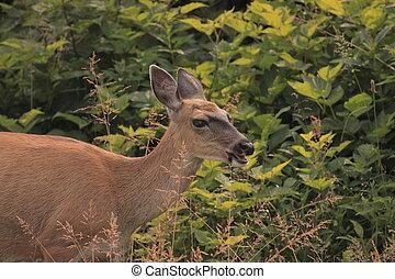 Sitka black-tailed Deer - Female Wild Deer