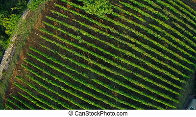 Vineyard aerial descenting shot - Copter aerial view of the...