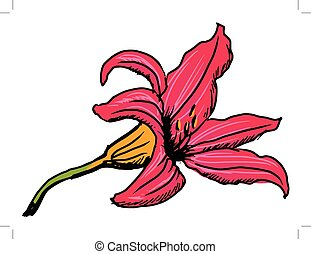 lily flower - hand drawn, sketch illustration of lily