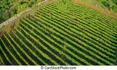 Vineyard aerial - Copter aerial view of the green vineyard...