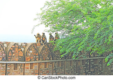 monkeys atop massive Chittorgarh Fort and grounds rajasthan...