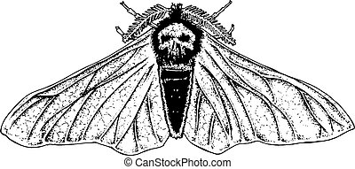 skull moth black and white illustration