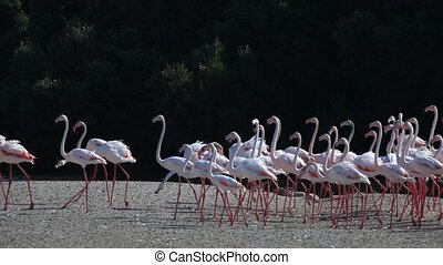 Flamingos in Dubai - Greater Flamingoes at the Ras al Khor...