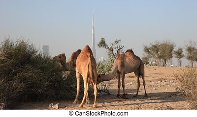 Camels in the desert of Dubai. City skyline with Burj...