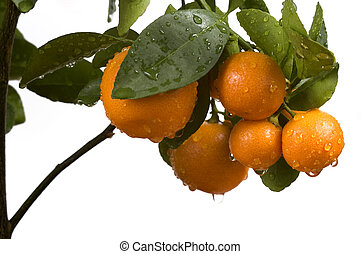 calamondin tree with fruit and leaves. orange fruit