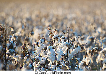 natural cotton bolls ready for harvesting - natural cotton...