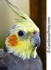 grey cockatiel close up