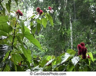 Rain falling in the rainforest - With Achiote tree Bixa...
