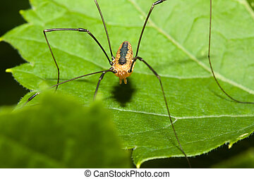 Harvestman spider standing on a tree leaf