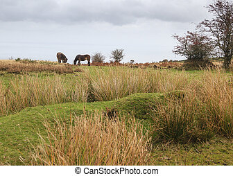 Exmoor pony a wild ancient breed of horse
