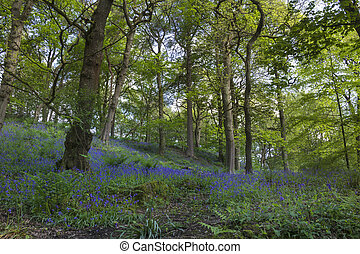 Bluebell forest - Beautiful carpet of bluebell flowers in...