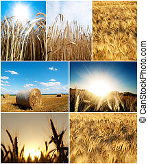 Nature composite picture - Collage of wheat pictures at...