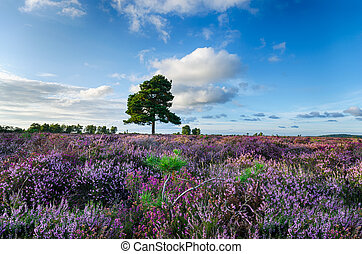 New Forest Heather - A carpet of purple heather in the New...