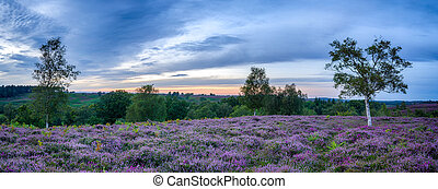 New Forest Heather - Purple heather in bloom in the New...