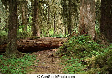 Forest Path - A pathway through old growth in the rain...