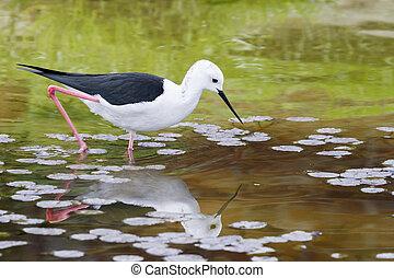 Black-winged Stilt Himantopus himantopus - Black winged...