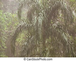 Rain falling in the rainforest - zoom out from Chontaduro...