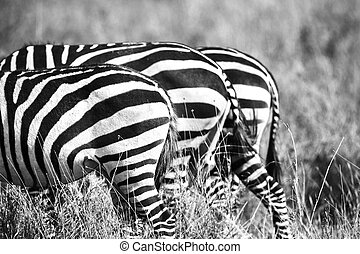 Close up of zebra rear ends in Africa - Black and white...