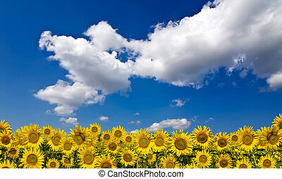Sunflower field beneath the blue sky