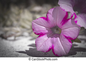 Petunia - Pink and white petunia flower on the floor are...