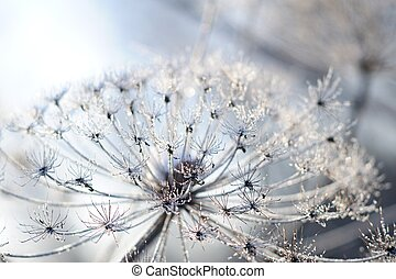 Umbelliferous plant cow-parsnip in winter in rime frost in...