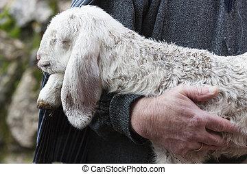 agnello, pastore
